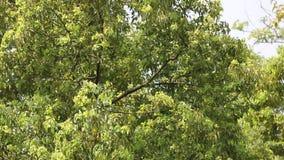Foglia verde dell'albero di cinnamomum camphora stock footage