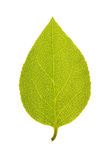 Foglia verde dell'albero di fuso di Sakhalin isolato su bianco Fotografie Stock