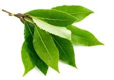Foglia verde dell'alloro del ramo Immagini Stock