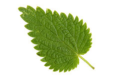 Foglia verde dell'ortica isolata su fondo bianco Immagini Stock Libere da Diritti