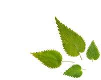 Foglia verde dell'ortica isolata su fondo bianco Immagine Stock Libera da Diritti
