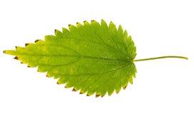 Foglia verde dell'ortica isolata su fondo bianco Fotografia Stock Libera da Diritti