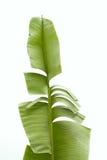 Foglia verde della banana Immagine Stock Libera da Diritti