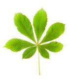 Foglia verde della castagna Fotografia Stock Libera da Diritti