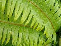 Foglia verde della felce con le goccioline di acqua Fotografia Stock