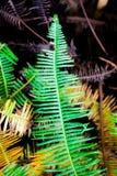 Foglia verde della felce nella foresta pluviale tropicale Fotografie Stock