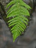 Foglia verde della felce sulla pietra muscosa sotto il livello dell'acqua aumentato.   Immagine Stock Libera da Diritti