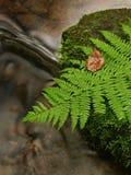 Foglia verde della felce sulla pietra muscosa sotto il livello dell'acqua aumentato.   Immagine Stock