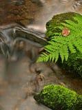 Foglia verde della felce sulla pietra muscosa sotto il livello dell'acqua aumentato.  Fotografia Stock