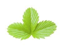 Foglia verde della fragola isolata Pianta su fondo bianco Fotografia Stock Libera da Diritti