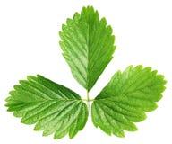 Foglia verde della fragola isolata su bianco Fotografie Stock Libere da Diritti