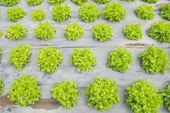 Foglia verde della lattuga nel campo, fresco di verdure in azienda agricola, insalata Immagine Stock