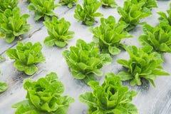 Foglia verde della lattuga nel campo, fresco di verdure in azienda agricola, insalata Fotografia Stock Libera da Diritti