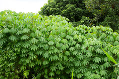 Foglia verde della manioca Immagine Stock