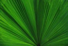 Foglia verde della palma Fotografie Stock