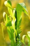foglia verde della pianta di cereale Fotografia Stock Libera da Diritti