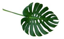 Foglia verde della pianta di monstera con il gambo, la vite sempreverde tropicale isolata su fondo bianco, percorso di ritaglio immagini stock libere da diritti
