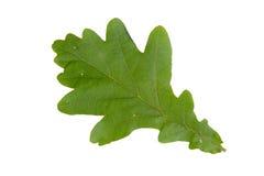 Foglia verde della quercia isolata su fondo bianco Fotografia Stock