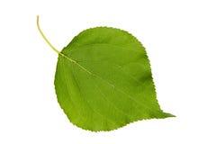 Foglia verde di alta risoluzione dell'albero di albicocca isolata sul BAC bianco Fotografie Stock