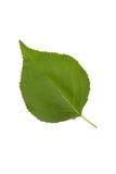 Foglia verde di alta risoluzione dell'albero di albicocca isolata sul BAC bianco Immagini Stock