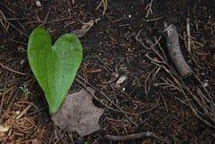 Foglia verde di forma del cuore dell'edera sul pavimento scuro della foresta Immagine Stock