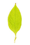 Foglia verde di piccolo balsamo isolata su bianco Immagini Stock Libere da Diritti