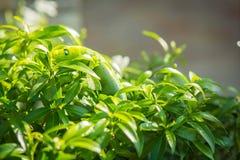 Foglia verde di verde del trattore a cingoli Fotografia Stock