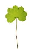 Foglia verde di vulgaris dell'alchimilla isolata su bianco Fotografia Stock