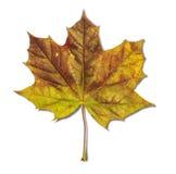 Foglia verde e gialla come simbolo di autunno isolata su bianco Fotografie Stock Libere da Diritti