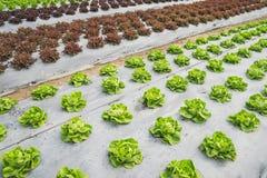 Foglia verde e rossa della lattuga nel campo, fresco di verdure in azienda agricola, sa Fotografie Stock