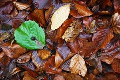 Foglia verde fra i foliages marroni Immagine Stock