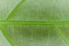 Foglia verde fresca immagini stock libere da diritti