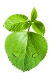 Foglia verde fresca con goccia di acqua isolata su bianco fotografie stock