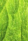 Foglia verde fresca del cavolo Fotografia Stock Libera da Diritti