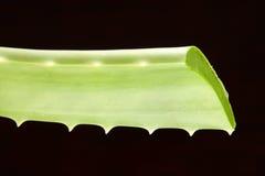 Foglia verde fresca del taglio di Vera dell'aloe Fotografia Stock
