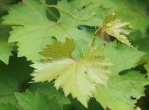 Foglia verde fresca dell'uva Fotografie Stock Libere da Diritti