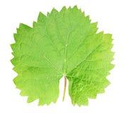 Foglia verde fresca dell'uva isolata con il percorso di ritaglio Fotografia Stock Libera da Diritti