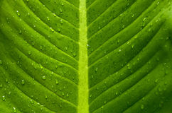 Foglia verde, goccioline di acqua Fotografia Stock