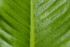 Foglia verde, goccioline di acqua Fotografie Stock