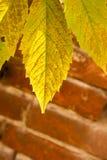 Foglia verde intenso e gialla dell'uva Fotografie Stock