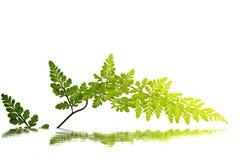 Foglia verde isolata Fotografie Stock