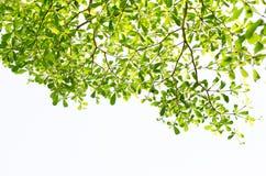 Foglia verde isolata su bianco Fotografia Stock Libera da Diritti