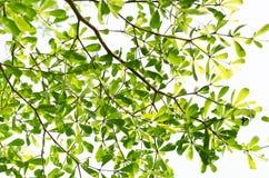 Foglia verde isolata su bianco Immagine Stock Libera da Diritti