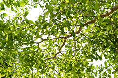 Foglia verde isolata su bianco Fotografia Stock