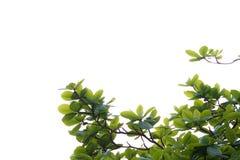 Foglia verde isolata sul catappa bianco di backgroundTerminalia immagini stock libere da diritti