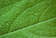 Foglia verde, macro Fotografia Stock