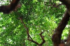 Foglia verde Myrt Immagini Stock Libere da Diritti