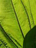 Foglia verde nell'ambito della luce luminosa del sole immagine stock