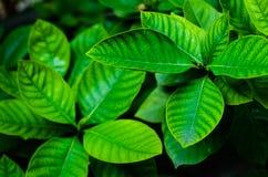 Foglia verde. No.2 Immagini Stock Libere da Diritti