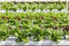 Foglia verde organica idroponica dell'azienda agricola di verdure Immagini Stock